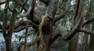 阿蘇郡高森殿の杉