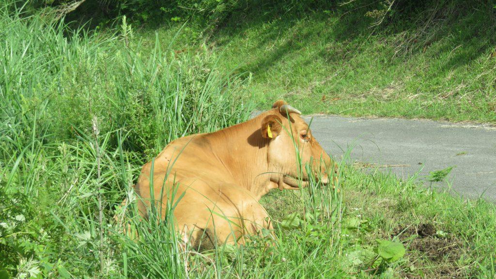 肥後の赤牛