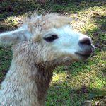 アルパカ Alpaca 阿蘇カドリー・ドミニオン