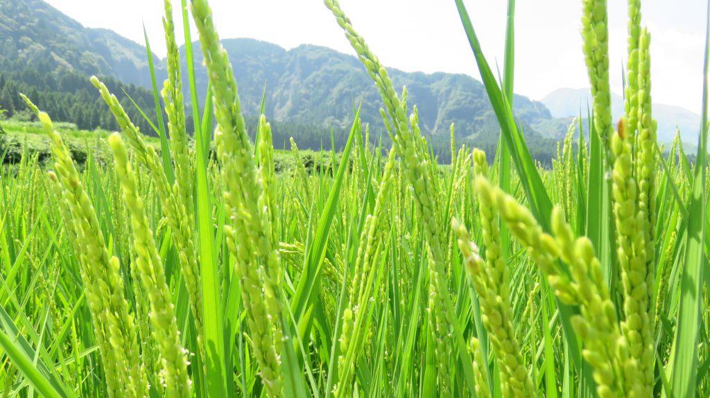 古閑の滝ジオサイトの稲
