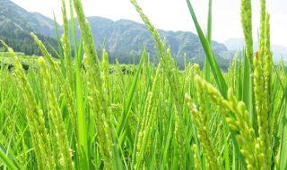 アイキャッチ古閑の滝ジオサイトの稲