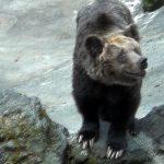 ヒグマ Brown bear 阿蘇カドリー・ドミニオン