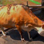 牛 ジャージー種 Jersey Cattle 阿蘇カドリー・ドミニオン