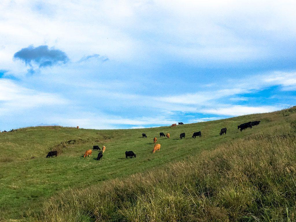 阿蘇の肥後赤牛と豊後の黒毛和牛