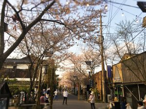 桜満開の中竹灯籠が並ぶ門前町