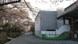 桜満開の参道と工事中の楼門