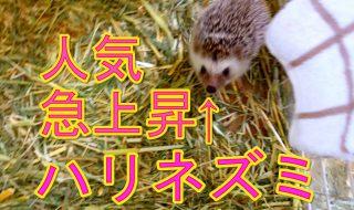 ハリネズミ 阿蘇カドリー・ドミニオン 20170507 Hedgehog Aso Cuddly Dominion